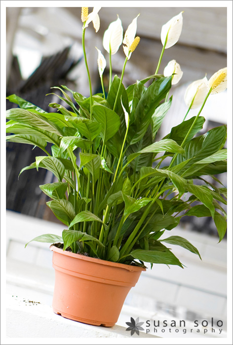 exhibit b u2013 the same peace lily after it has been in my care for one year - Peace Plant Care