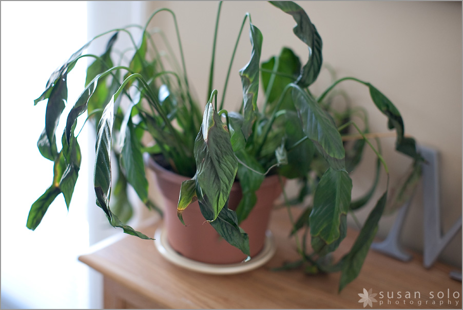 keep the plant alive for a year u2013 check susan solo u2013 traveler adventurer - Peace Plant Care