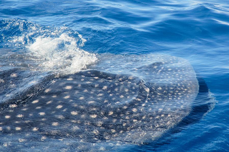 11_isla_mujeres_whale_sharks_blog
