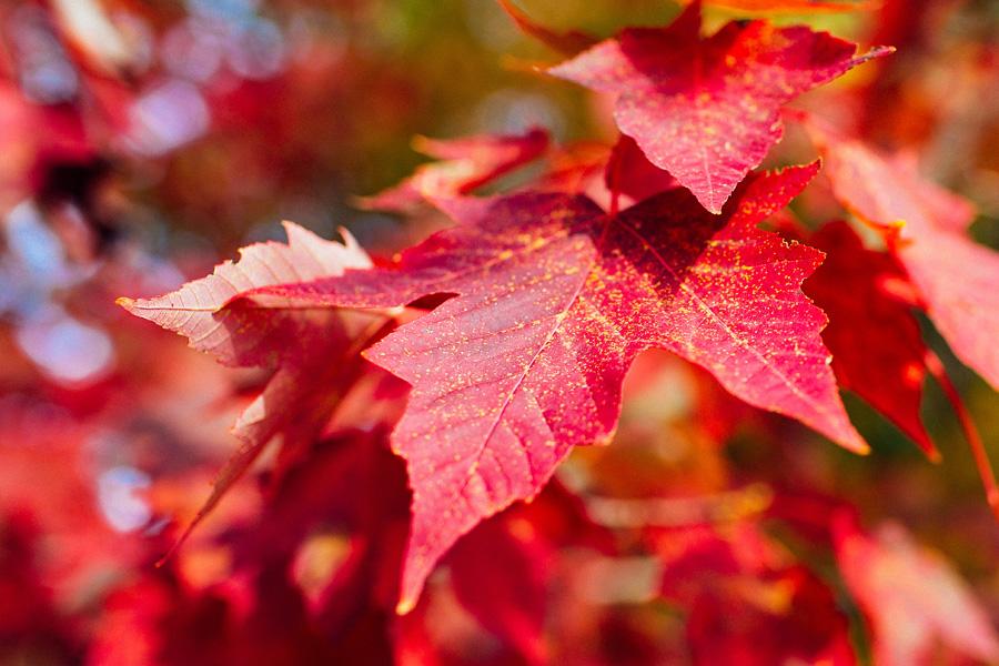 red-leaf-fall