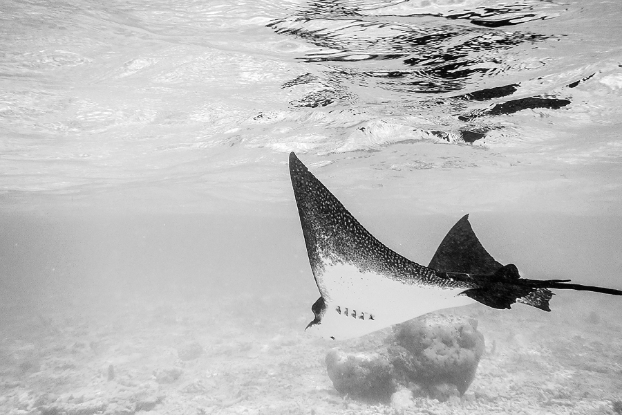 eagle-ray-maldives-blog