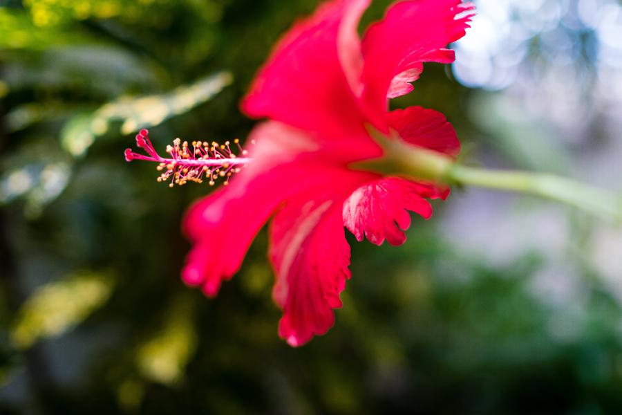hibiscus-blog